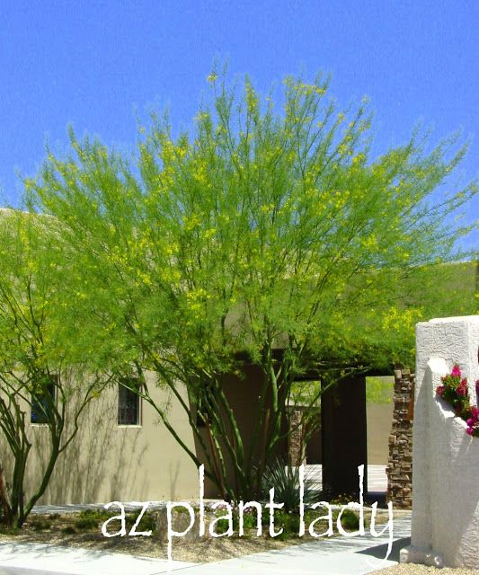 Pruning Tips And Care For Palo Verde Desert Trees Via Www