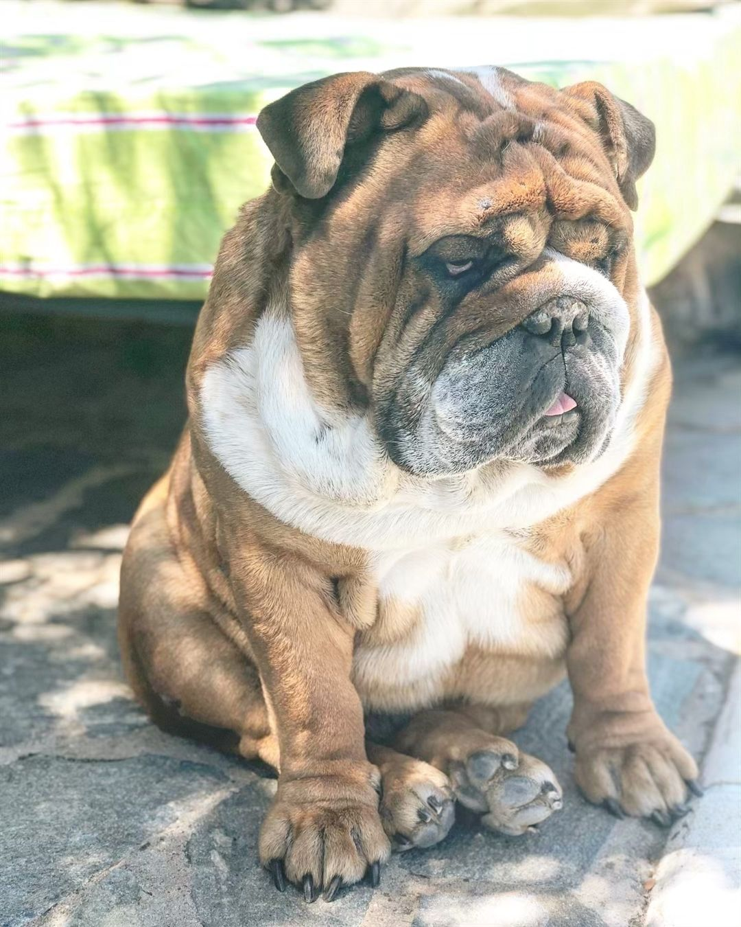 Pin by Animalislands on English Bulldogs Dog travel bag