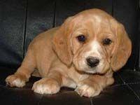 Cavadors Rivergum Designer Puppies Puppies Dog Friends Dog Design