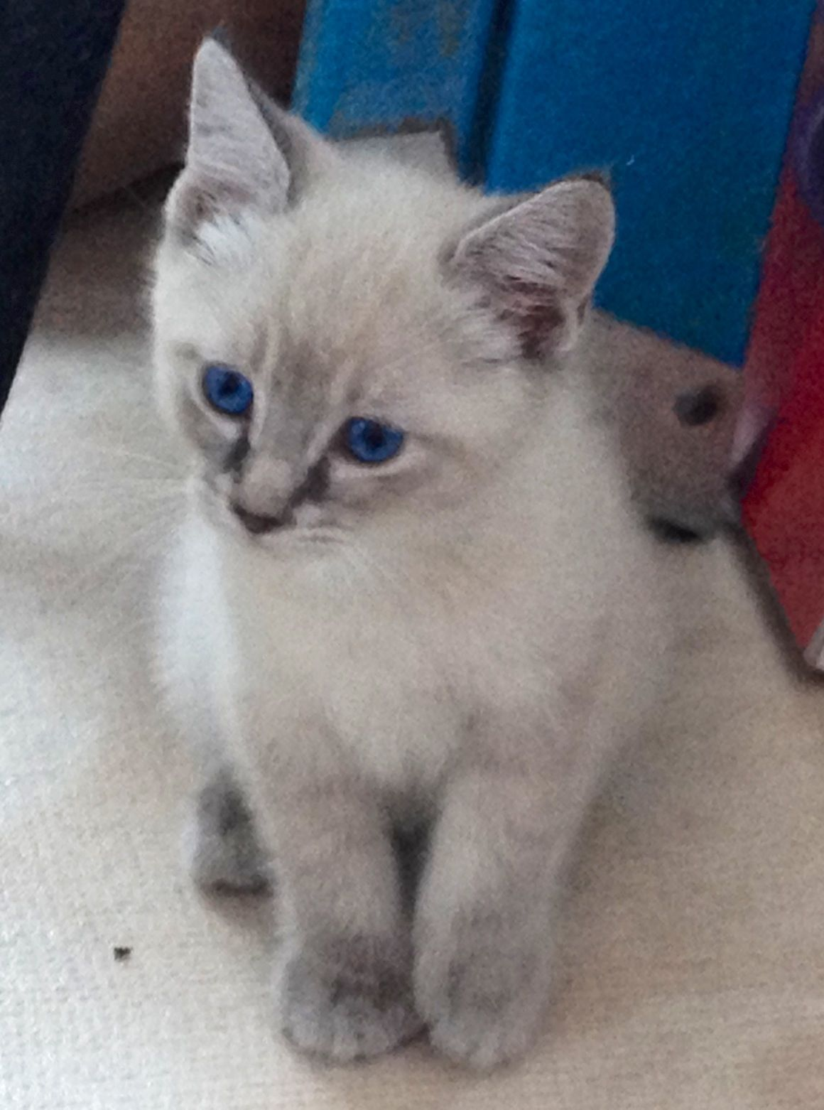 Manx and Siamese mix kitten. No tail, just a little gray nubbin ...