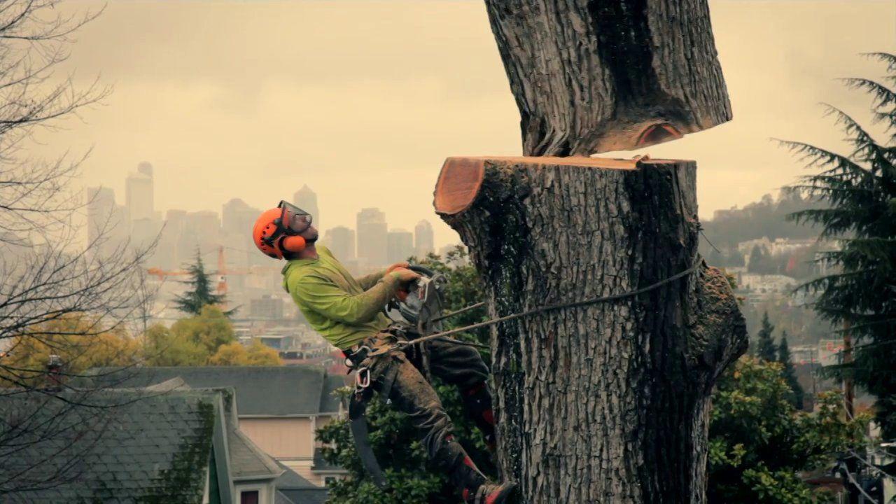 Urban Hardwoods / Seattle's Largest Hardwood Tree
