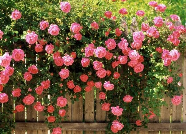 America Climbing Rose Rose Cuttings Rose Seeds Climbing Roses