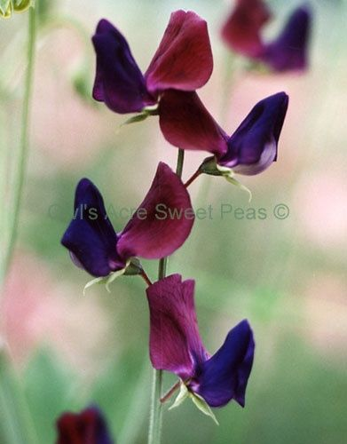 Heirloom sweet pea - Purple prince - 1894 - bicolor bloom http://www.pinterestbest.net/Cheesecake-Factory-Gift-Card
