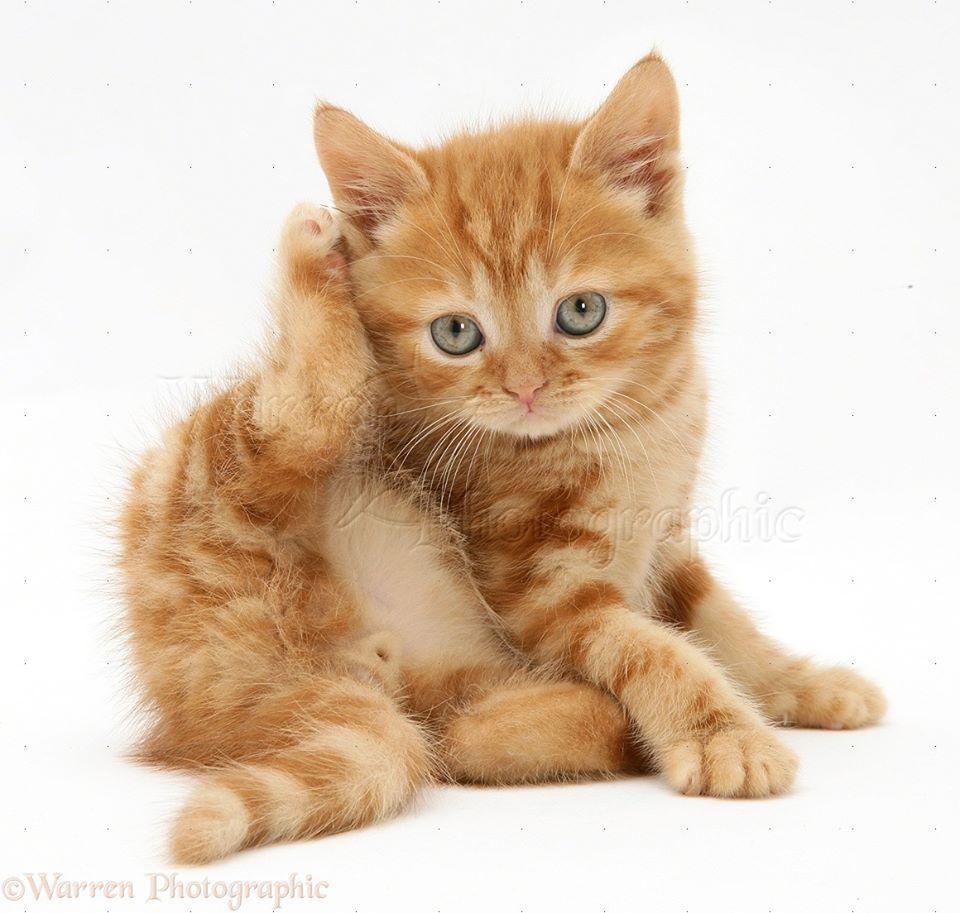 Ginger Kitten Taking A Bath Orange Tabby Cats