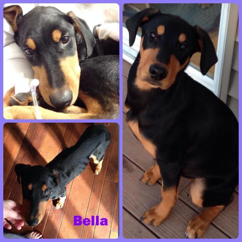 Adopt Bella On Seeking Fur Ever Home Pet Dogs Dogs Doberman