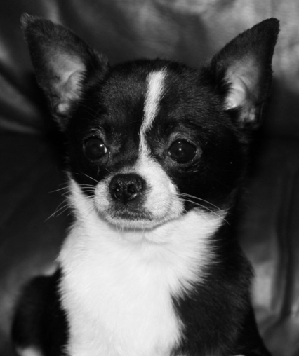 Charbain Kennels Chihuahua Puppies For Sale Long Haired