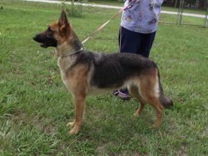 Adopt Sabrina On German Shepherd Dogs Shepherd Dog Animal Rescue