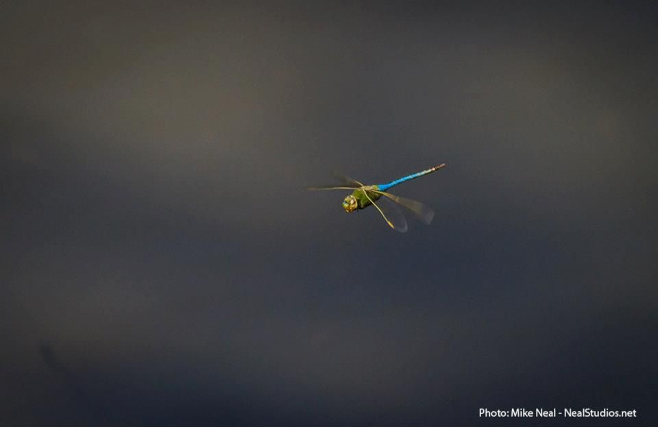 Maui dragonfly by Mike Neal.
