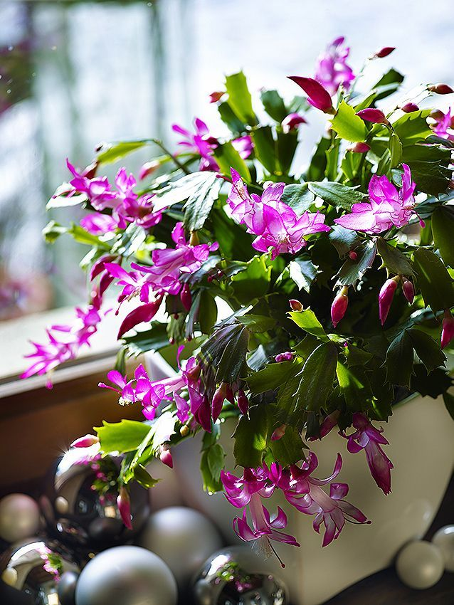 Houseplants Christmas Cactus Schlumbergera So Called As The
