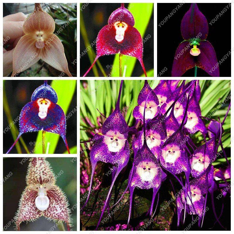 100pcs Monkey Face Orchid Flower Seeds Plant Seed Bonsai Home Garden Decor