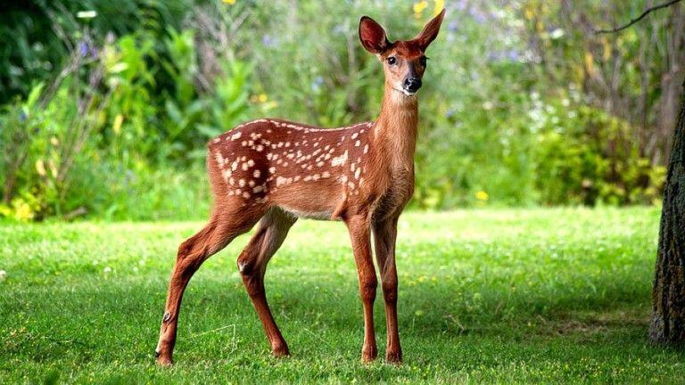 Deer Baby Cute Animal Wallpaper Hd Download Of Cute Deer Deer Background Deer Deer Wallpaper
