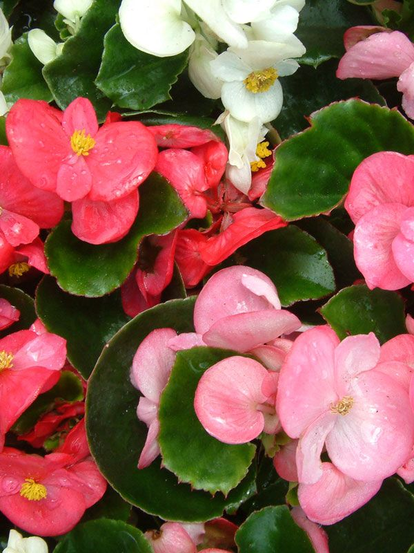 Oderinsg Potted Colour Bedding Plant Begonia Great As A Border Or In Pots Bedding Plants Plants Begonia