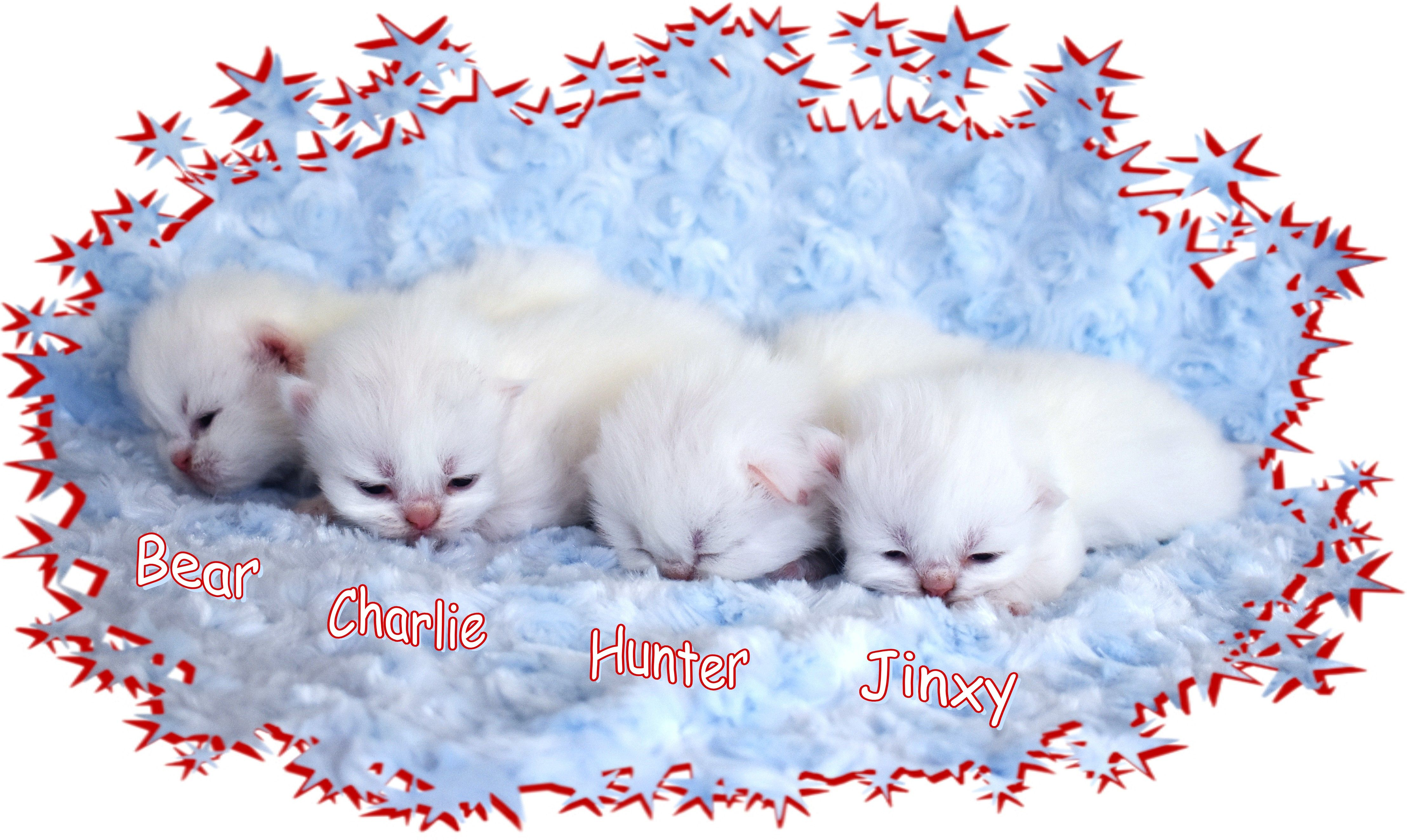 White Teacup Persian Kittens Available Reserve Now And Receive A 500 Discount Teacup Persian Kittens Persian Kittens Kitten For Sale