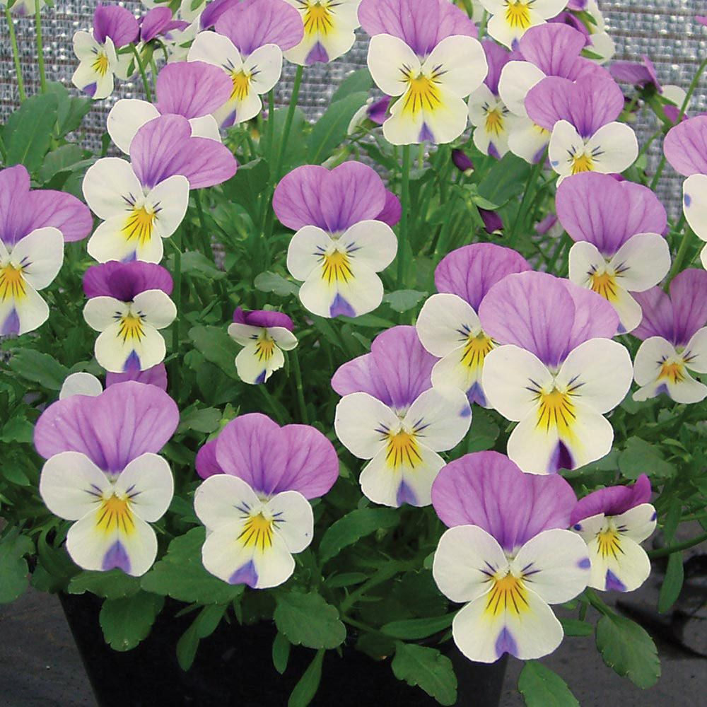 32++ Winter pansies for sale near me information