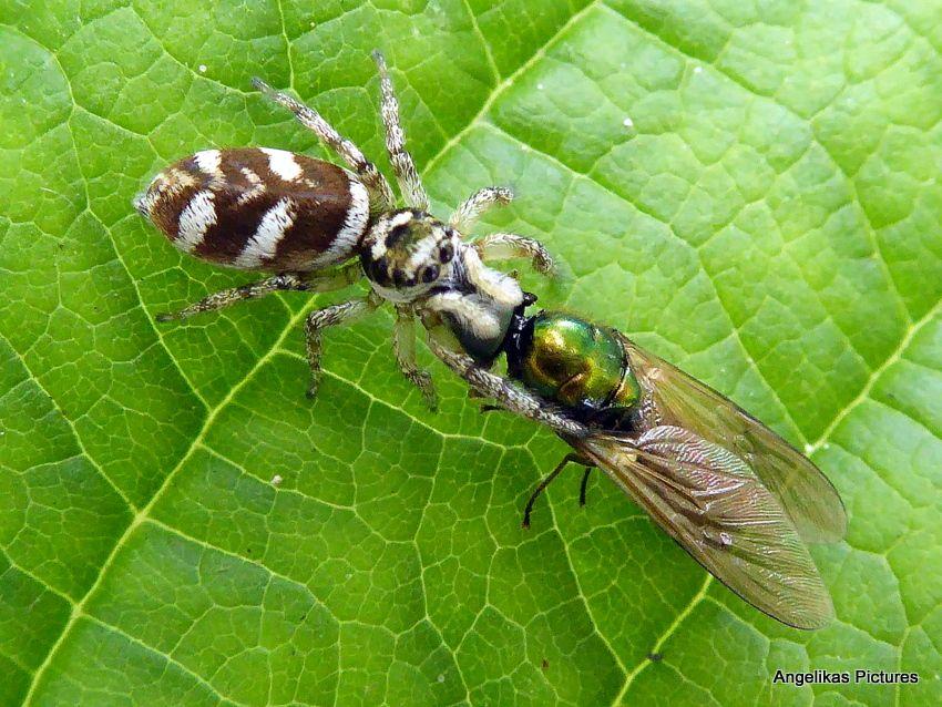 Spin is maar een halve cm. groot ! , vlieg is al dood ! Spring Spin- Zebraspin , of te wel Harlekijntje