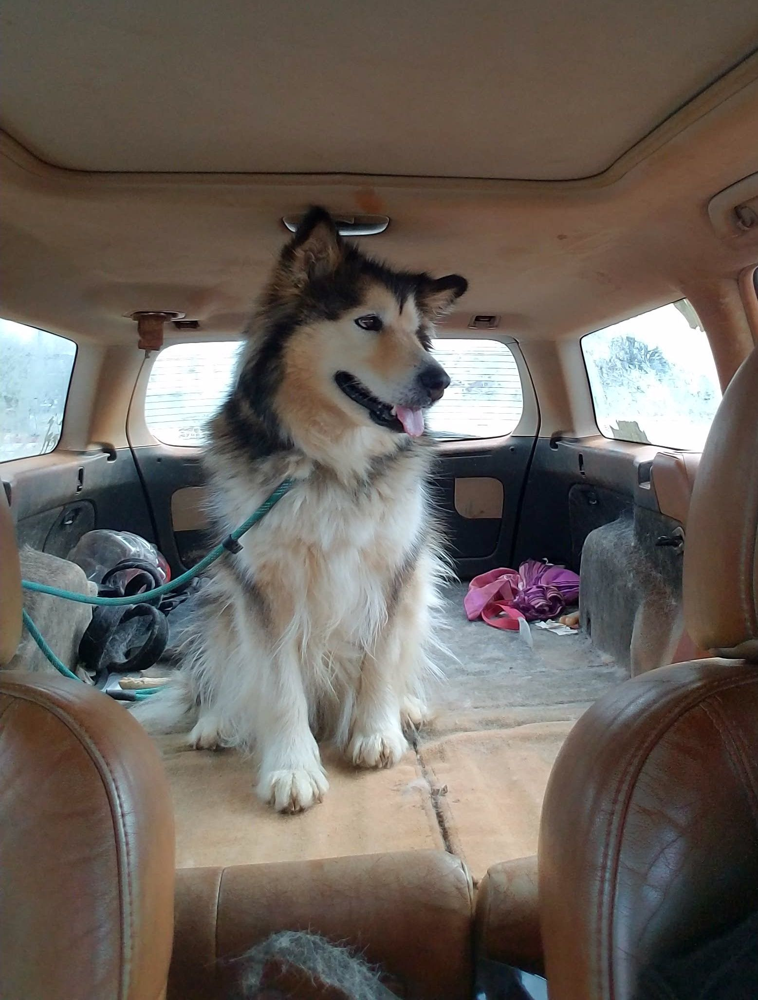 Adopt Shiloh on (With images) Malamute dog