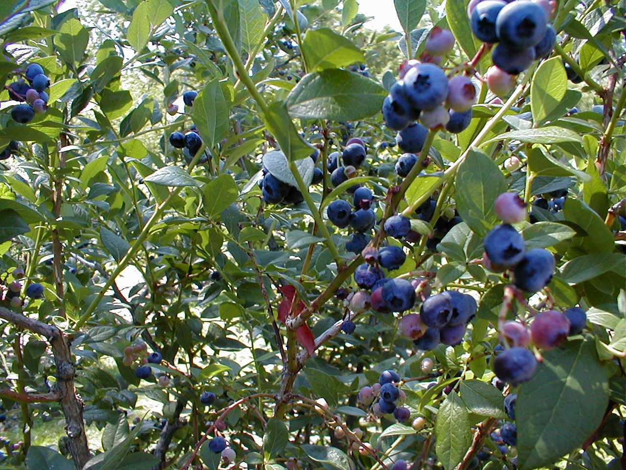 Blueberry Bush Height 3 12 Width 3 8 White Or Pink Flowers In
