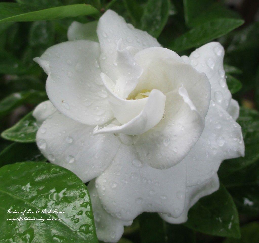 Pin On Beautiful Gardenias