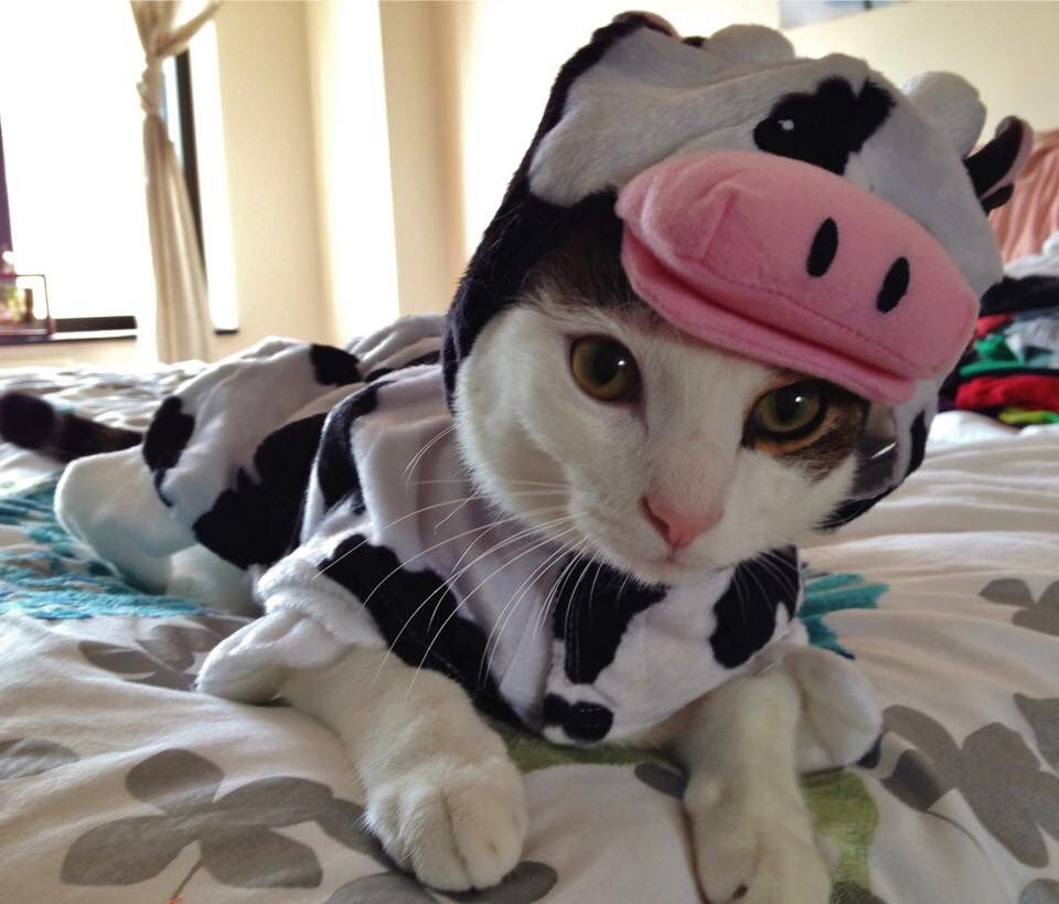 Cat In Cow Costume Love Your Pet Pet Costumes Animals Funny Cats