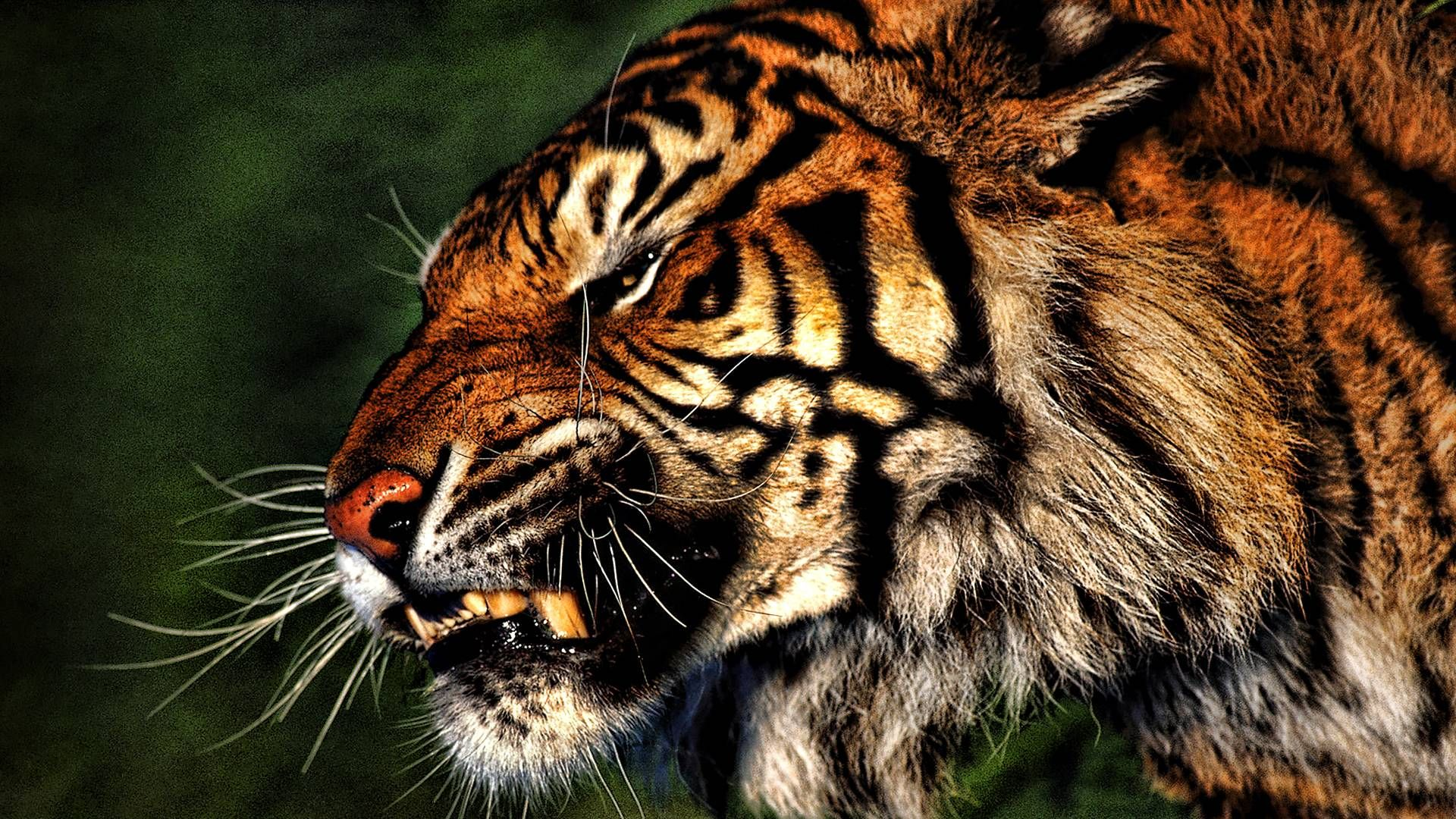 Tiger Hd Wallpapers Wallpaper Cave Epic Car Wallpapers Animals