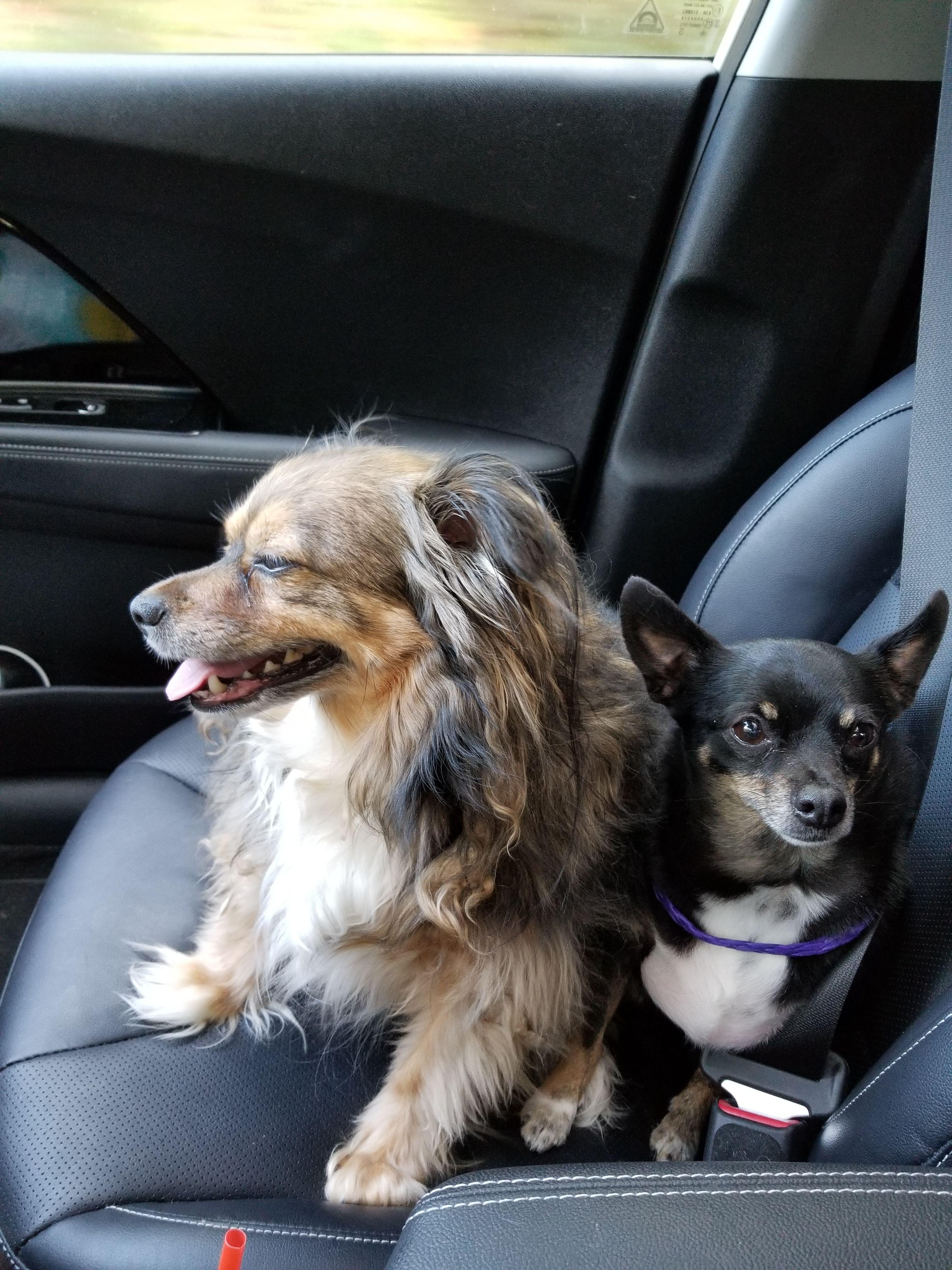 Pomeranian dog for Adoption in Ridgefield, CT. ADN655446