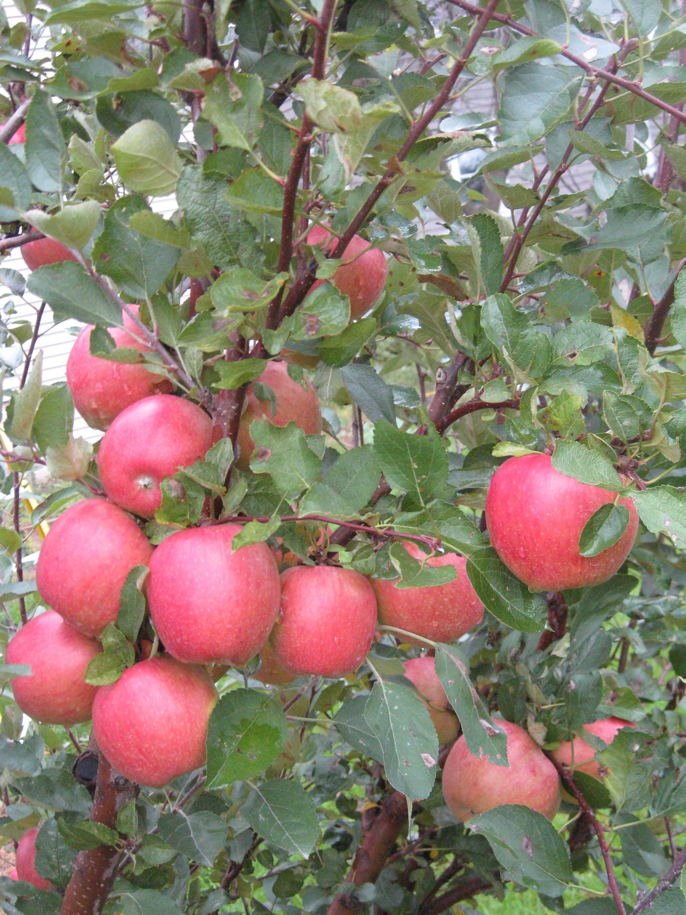 Suncrisp Apples On Tree Apple Tree Apple Garden Red Apple