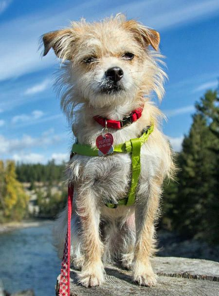 Oliver The Terrier Mix Dog Breed Japanese Chin Poodle Rat