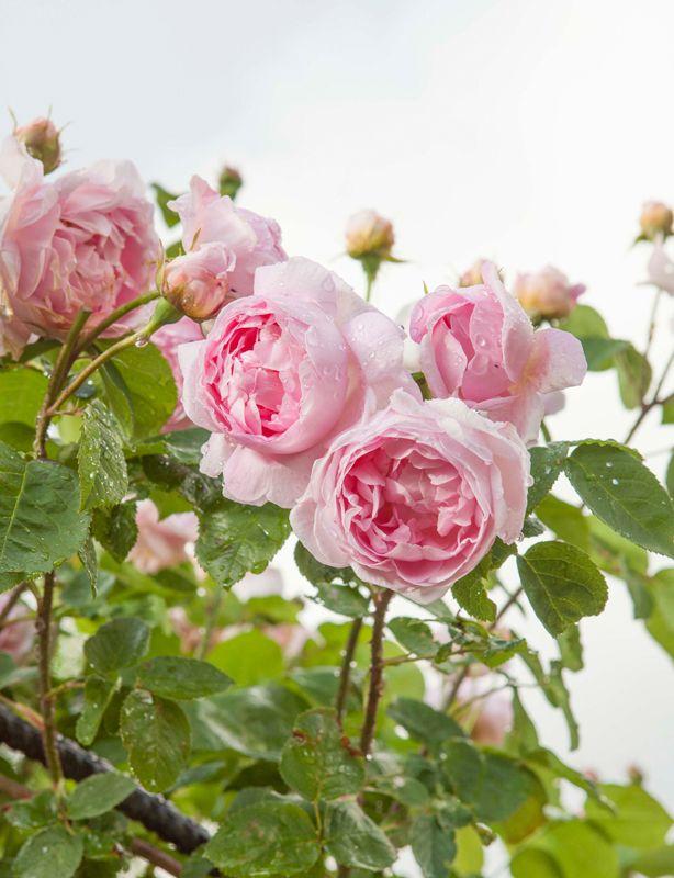 rosor på kind