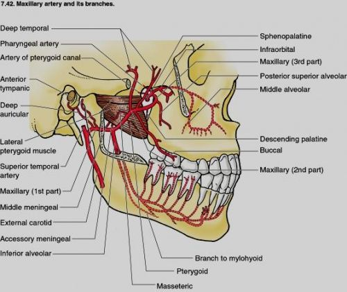 maxillary artery branches | school | Pinterest | Dental, Dental ...