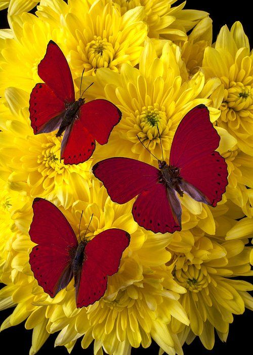 Three Red Butterflys Greeting Card