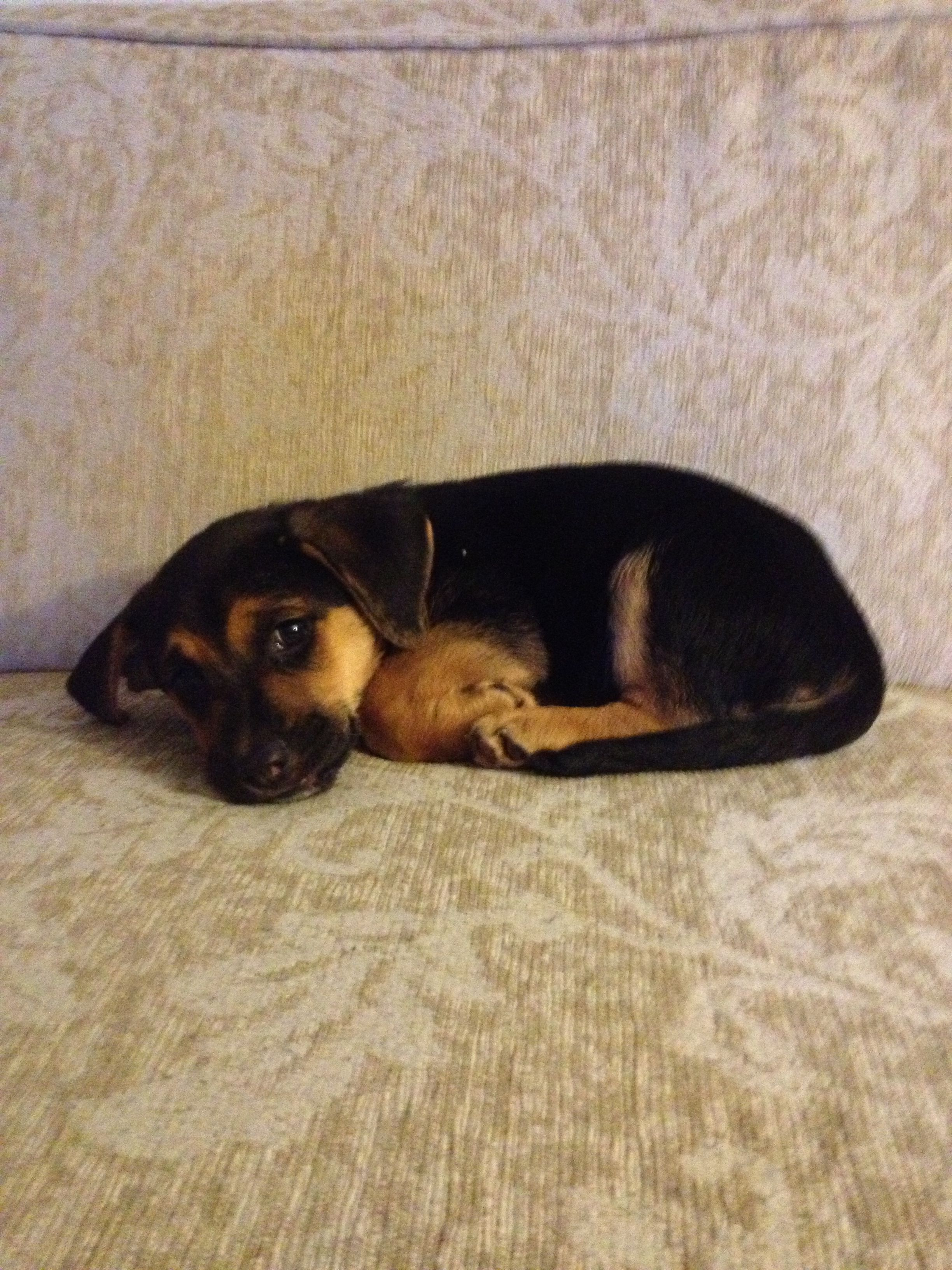 This Is My Dog Kaylee As A Puppy She S A German Shepherd Beagle