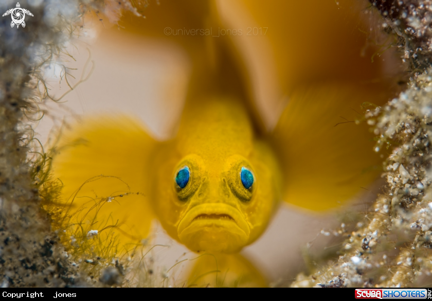 Yellow Pygmy Goby in Anilao Batangas - Philippines