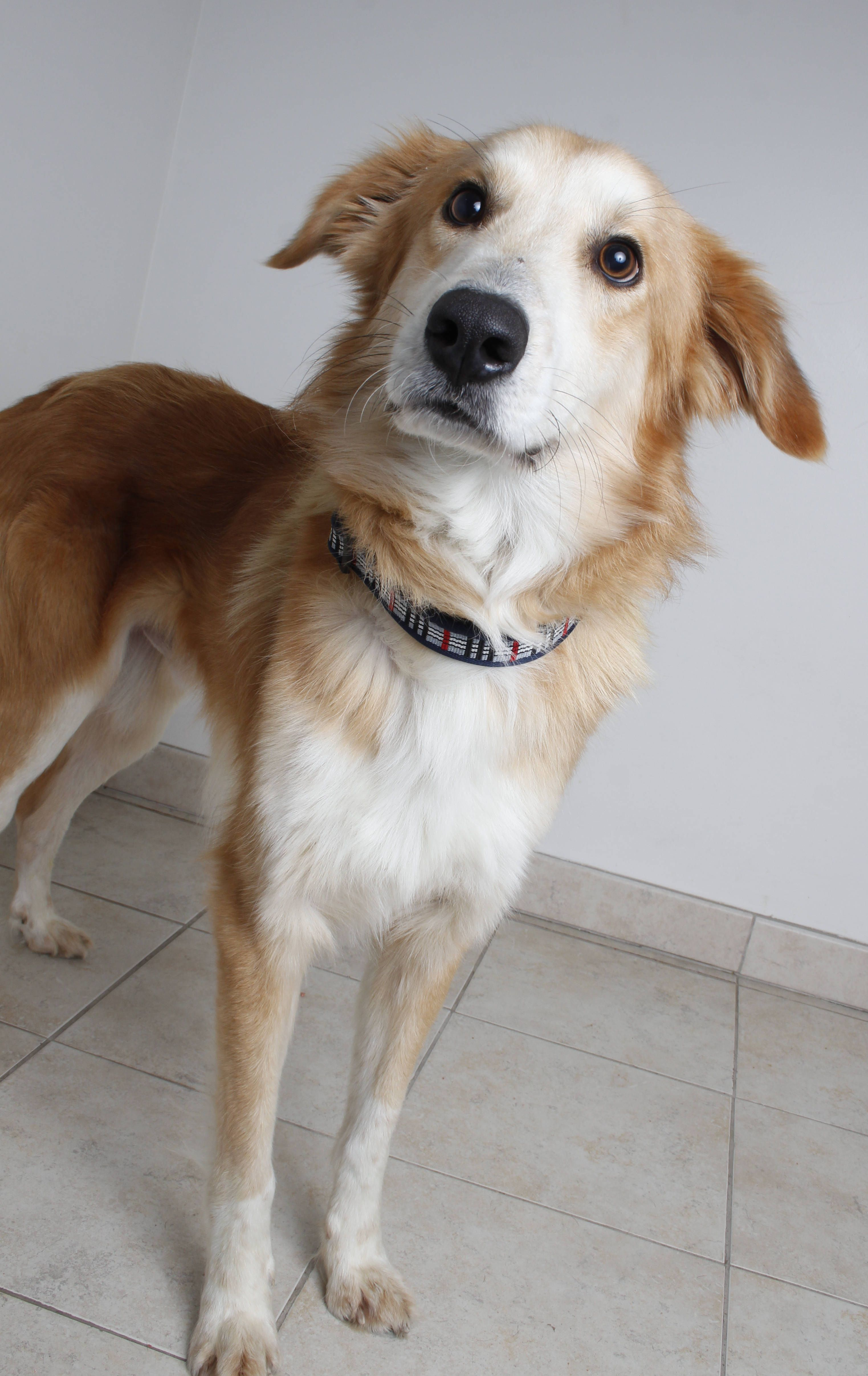 Gollie dog for Adoption in Eden Prairie, MN. ADN741723 on