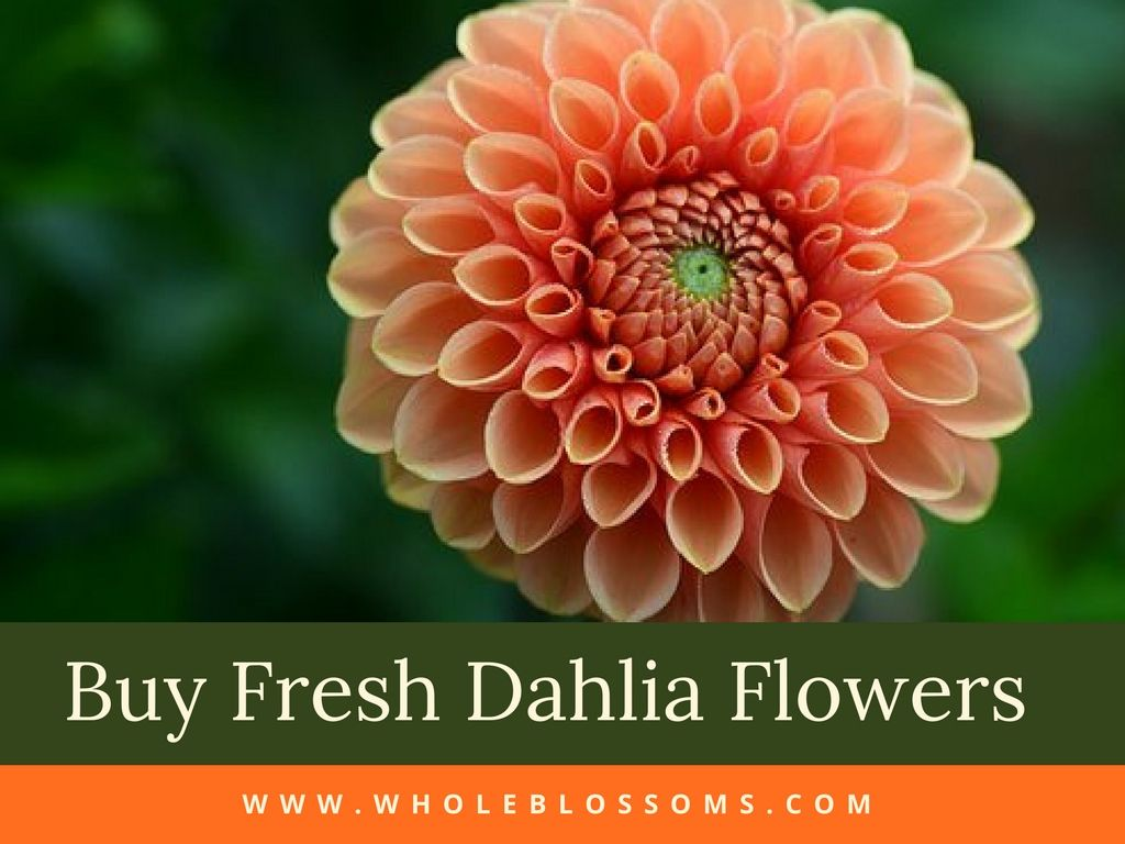 If You Are Searching For Where To Buy Dahlias For Sale Then Whole