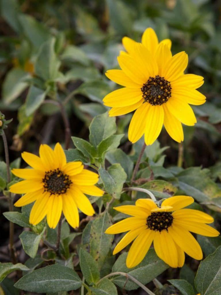 Helianthus Agrestis Southeastern Sunflower Daisy Family