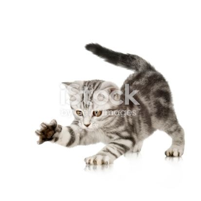 British Shorthair kitten British shorthair kittens, Cats