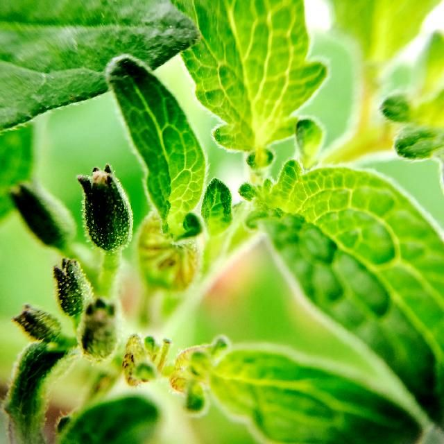 ミニトマトの画像 by usagiさん|食べられる植物フォトコンテンストと家庭菜園 (2015月6月28日)|みどりでつながるGreenSnap