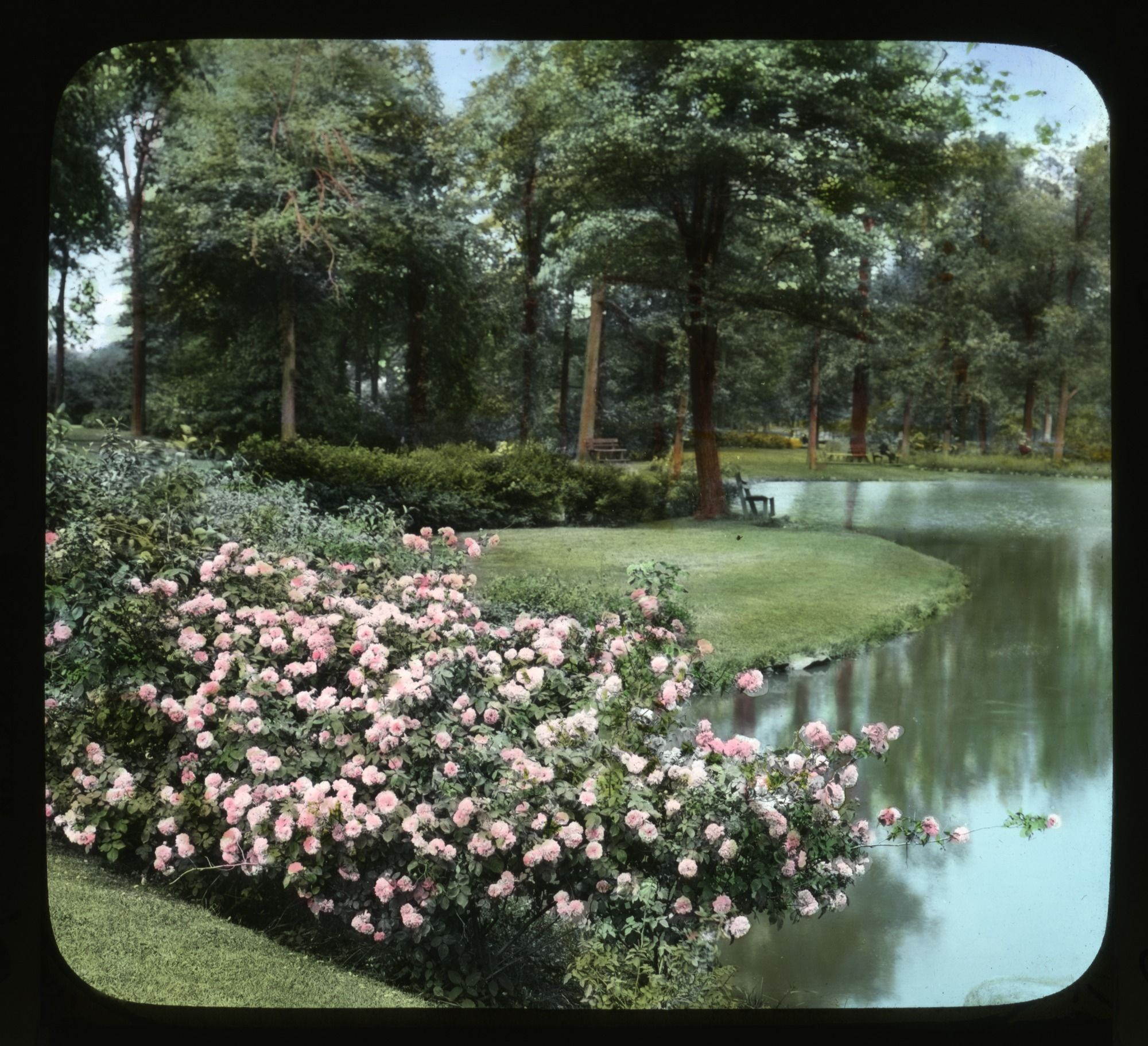 When Charles Pond, a wealthy businessman, bequeathed his estate to the City of Hartford, CT in the late 1800s it became one of the first municipal rose gardens established in America.  This glass lantern slide depicts the pond a rose bush in 1906. Smithsonian Institution, Archives of American Gardens, J. Horace McFarland Collection. #ArchivesMonth2013 #ElizabethPark #roses @American Rose Society