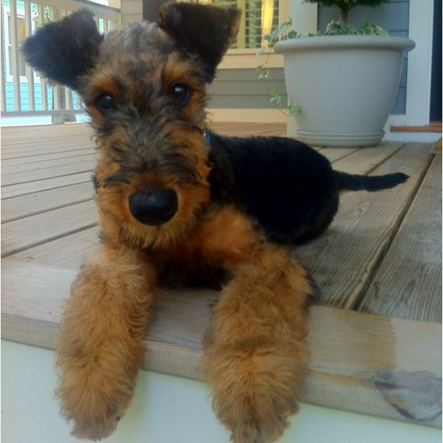 ORIGINAL PINNER SAYS: A darling Airedale Terrier puppy, the owner of this puppy is going to have a wonderful lifetime of smiles, love, cuddles, and the best friend you can have in a Dog✨✨