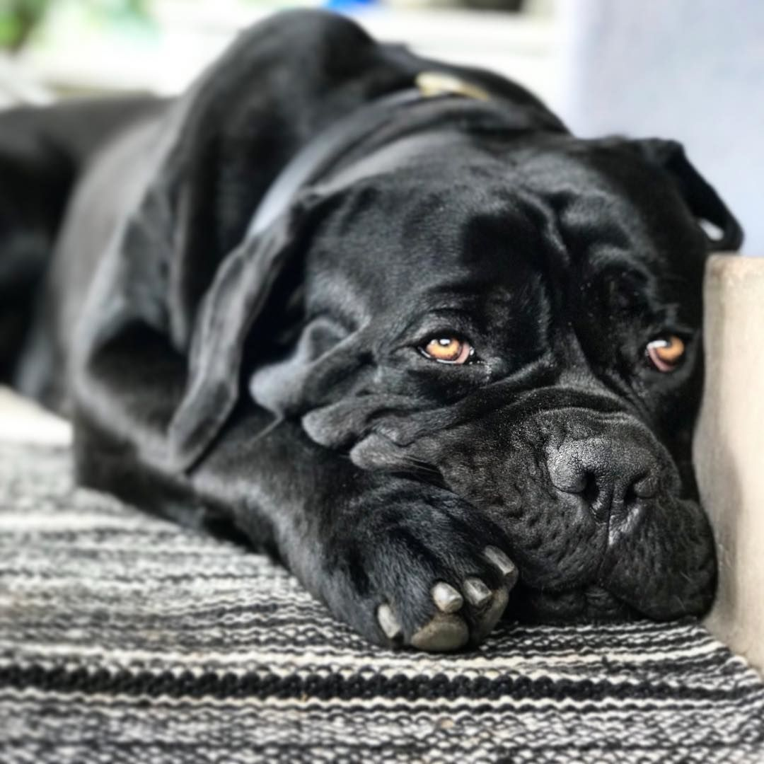 Stunning Cane Corso With Un Cropped Ears I M Thankful That Someone Else Sees The Beauty In An Un Altered Dog I Detest E Cane Corso Dogs Big Puppies