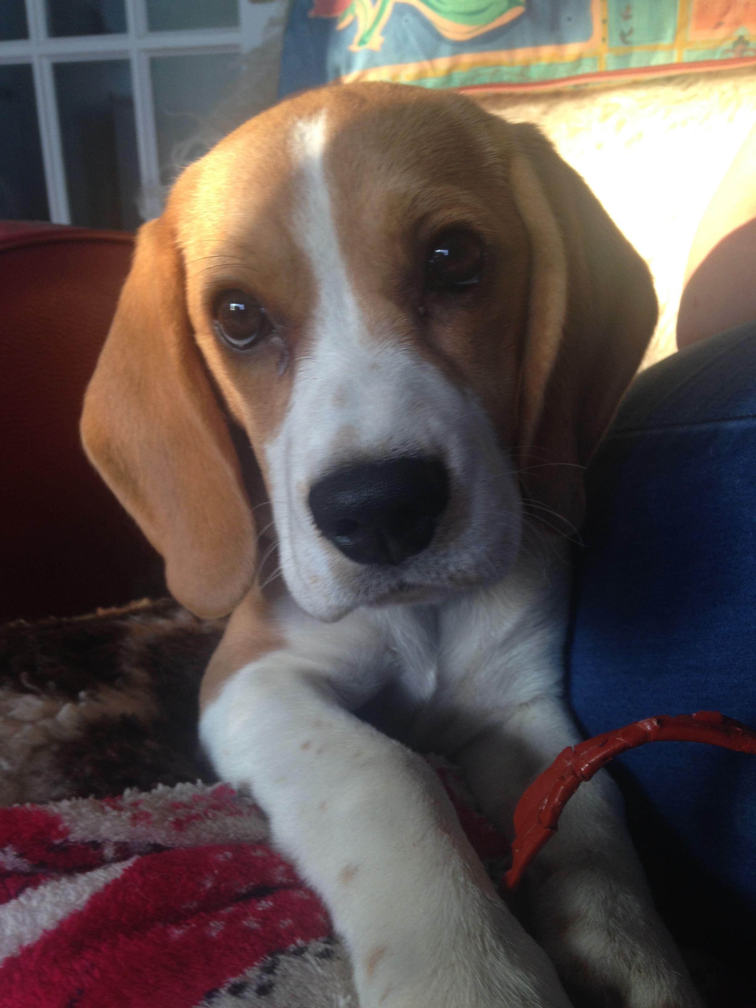 Beagle Friendly And Curious Beagle Puppy Cute Beagles Beagle Dog
