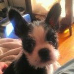 Boston Blackie A Long Haired Tailed Terrier