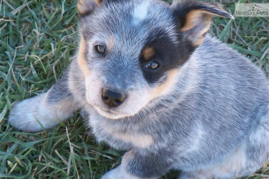 Queensland Heeler For Sale Cattle Dogs Rule Blue Heeler Dogs Heeler