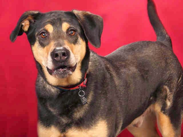 Talking Dogs At For Love Of A Dog Adopt Sabre A Senior Gsd Dobie