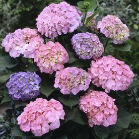 Gardens Alive 16 Oz Hydrangea Early Sensation Flowering Shrub In Pot Lowes Com Flowering Shrubs Spring Hill Nursery Full Sun Perennials