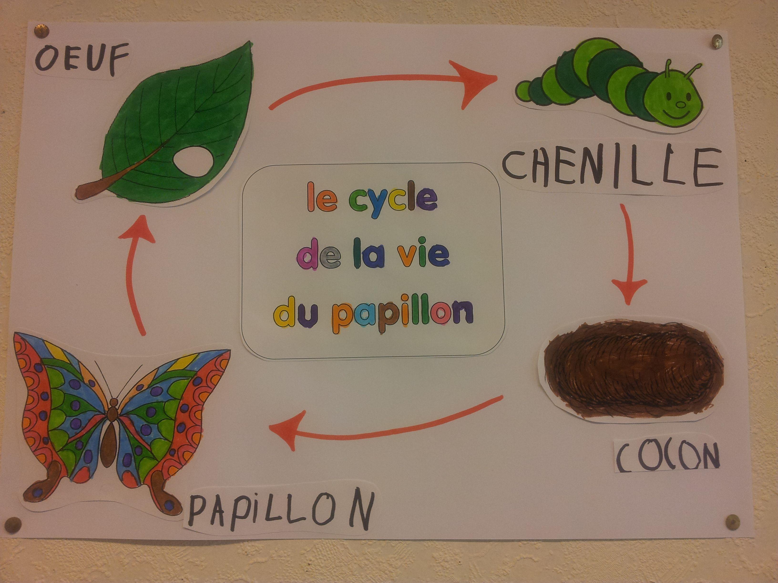 Le cycle de la vie du papillon escola pinterest - Papillon maternelle ...