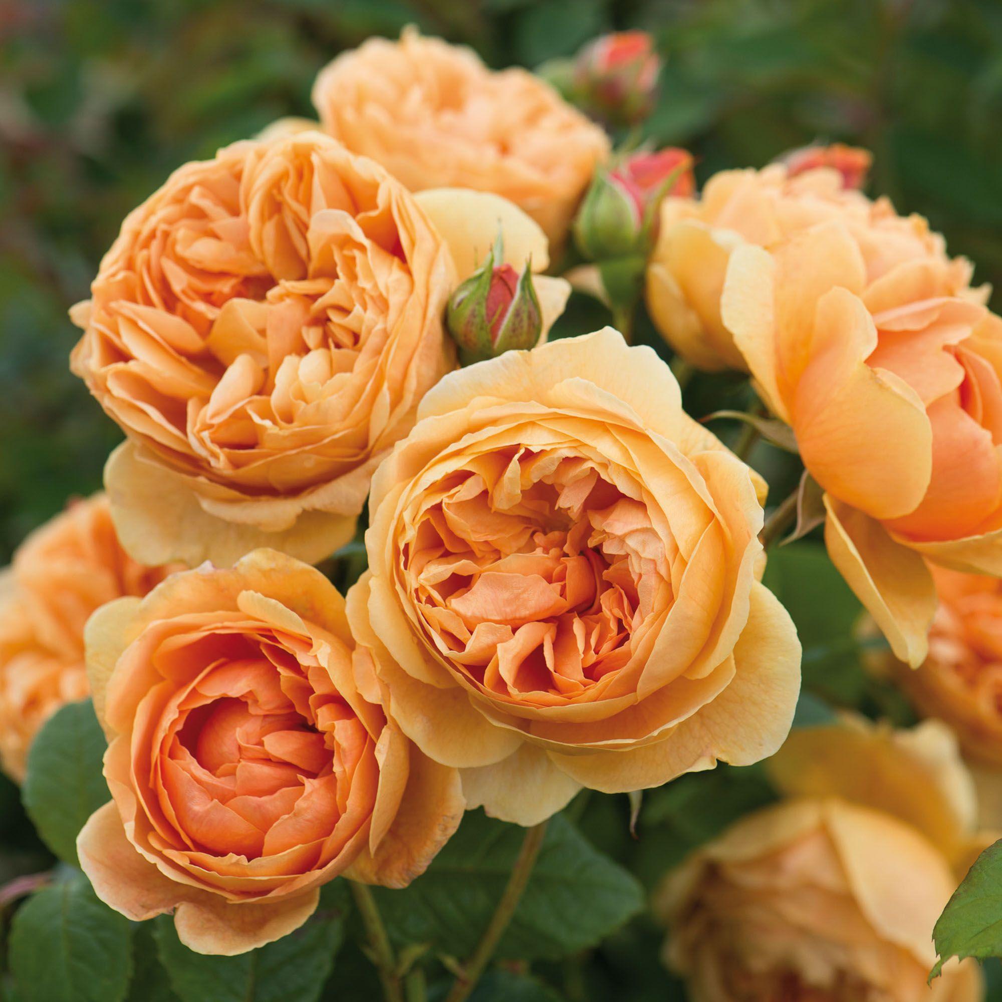 The new David Austin shrub rose Rosa Carolyn Knight
