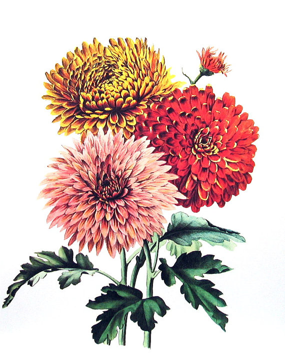 Chrysanthemum 1970 S Wildflowers Print Botanical Print Vintage Color Illustration Vintag Chrysanthemum Flower Drawing Botanical Flowers Digital Flowers
