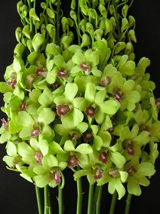 Green Dendrobium Orchid Flowers Orchid Flower Dendrobium Orchids Green Orchid