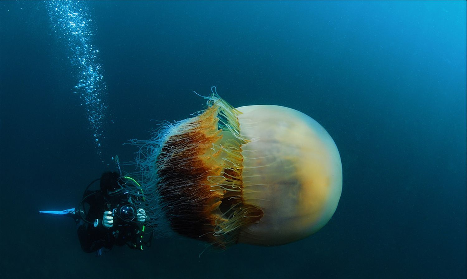 nomura a giant ocean jellyfish over two meters in diameter and